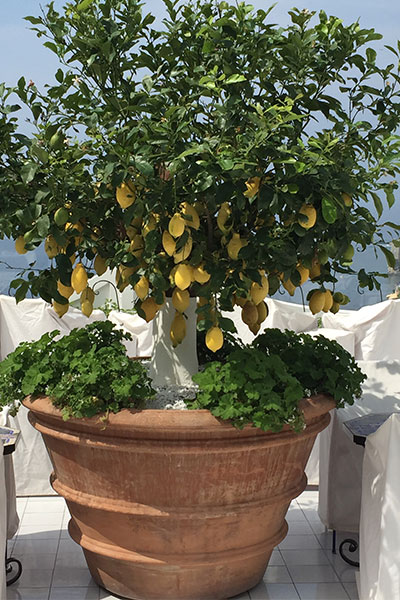lemon tree in positano