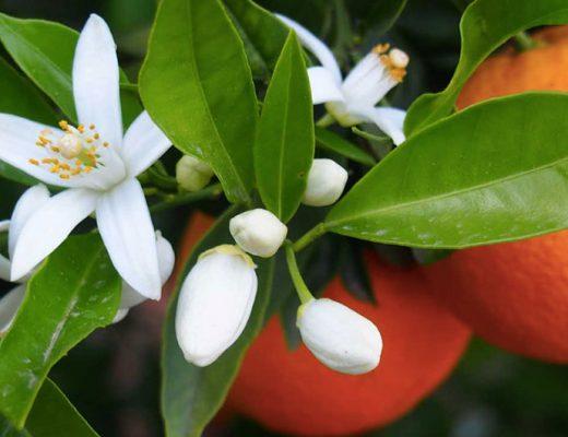 scent trend: neroli