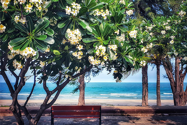 frangipani trees in Hawaii